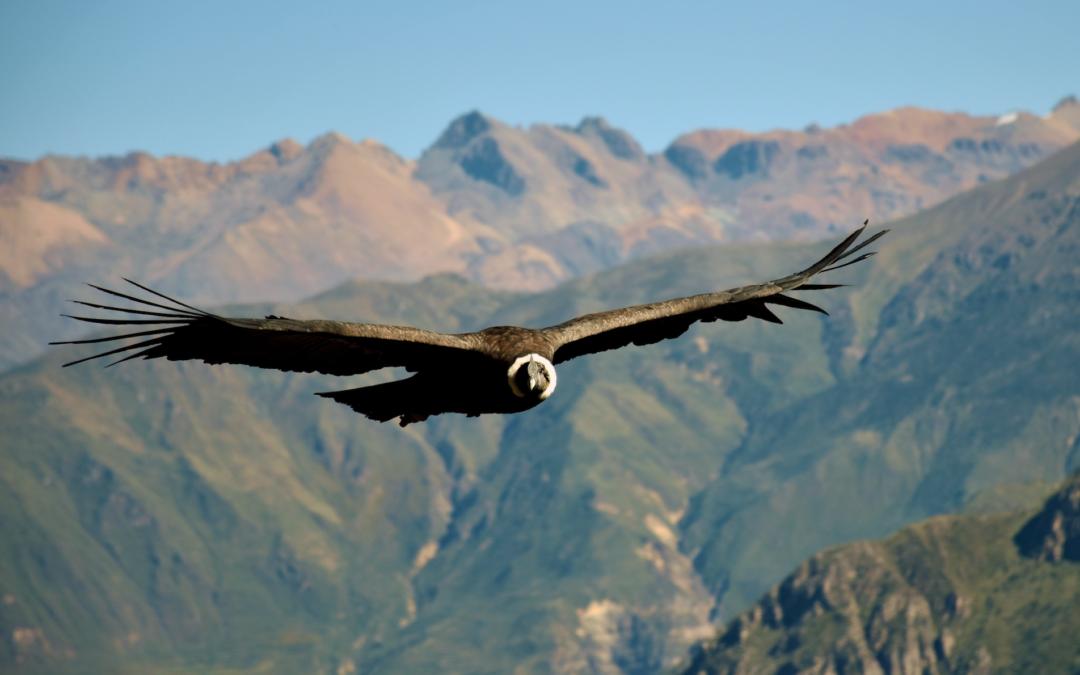 Quand le condor nous parle et nous invite à voler…