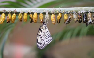 Comment les chenilles se transforment en papillon